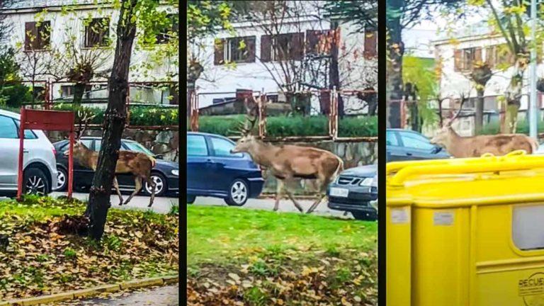 El ciervo, por las calles de Puebla de Sanabria. © YouTube