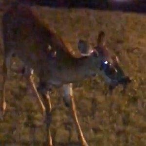 Graban a un espeluznante ciervo afectado por la enfermedad zombi