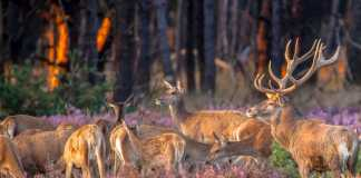 ciervos alemanes