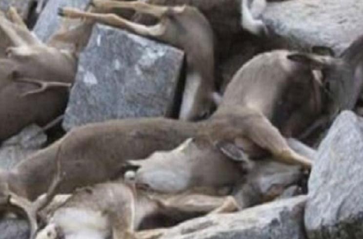Descubren setenta ciervos muertos en extrañas circunstancias