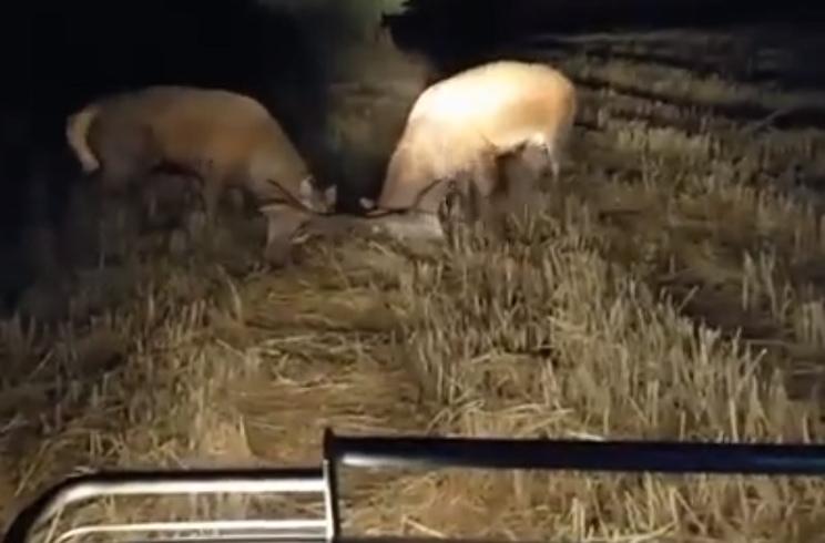 Dos ciervos pelean frente al coche de este cazador