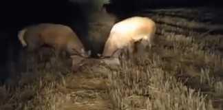 ciervos pelean