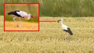 Un agricultor graba cómo una cigüeña se traga una codorniz en Segovia