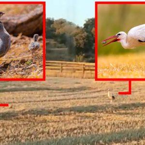 Una perdiz planta cara a una cigüeña para impedir que se coma sus pollos