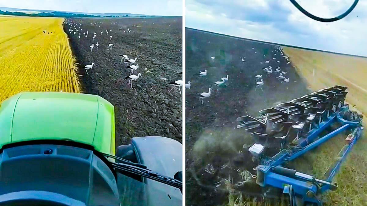 Espectaculares imágenes de cientos de cigüeñas rodeando el tractor de un agricultor