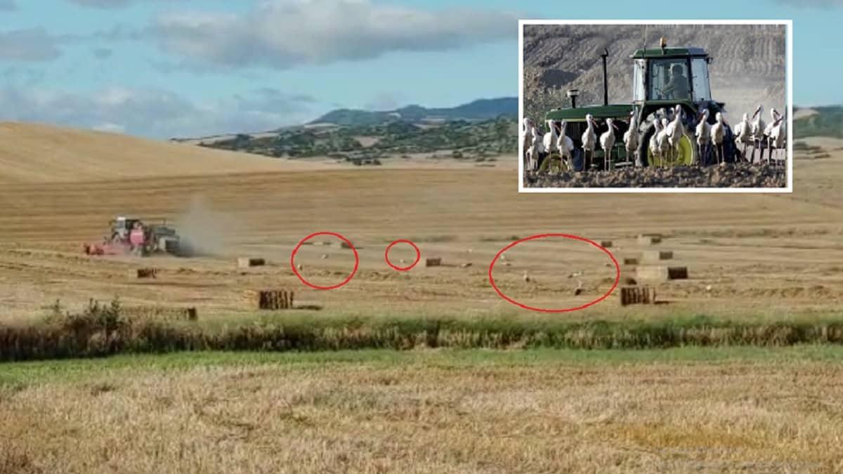Graba a decenas de cigüeñas tras la cosechadora: «Las he visto comer lebratos, codornices, perdices…»