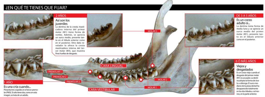 Gráfica que explica cómo calcular la edad de un corzo fijándonos en su dentadura. © Innova Ediciones