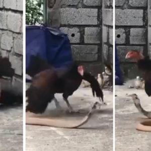Una gallina pisotea a una cobra que intentaba matar a sus pollos