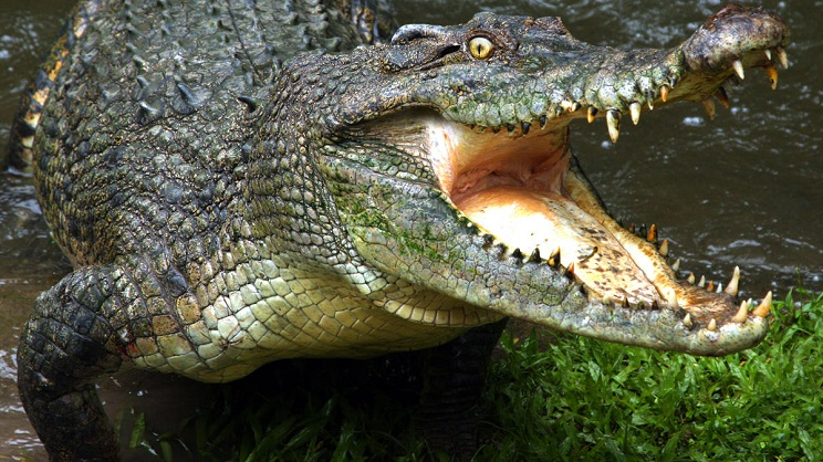 cocodrilo mata mujer