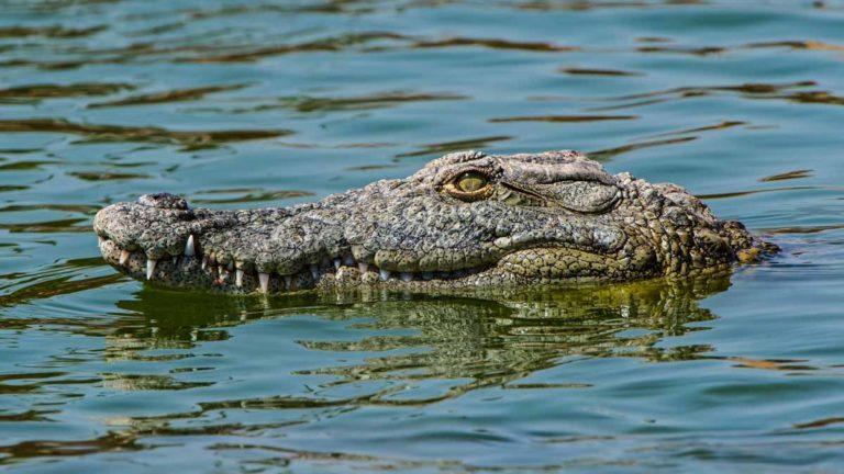 Un cocodrilo del Nilo. Shutterstock