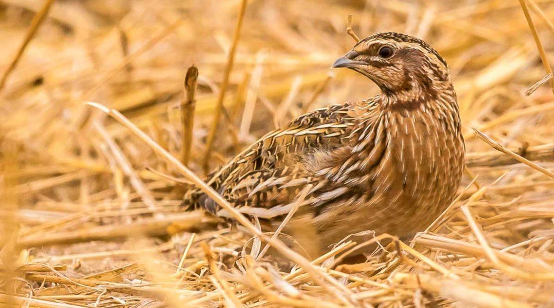 Así destroza la RFEC los argumentos de SEO/BirdLife para prohibir la caza de la codorniz