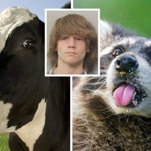 Arrestado por disparar a una vaca tras confundirla con un mapache