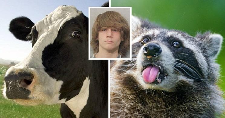 cofunde vaca con mapache