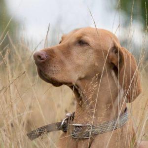 Uso de collares para adiestramiento canino