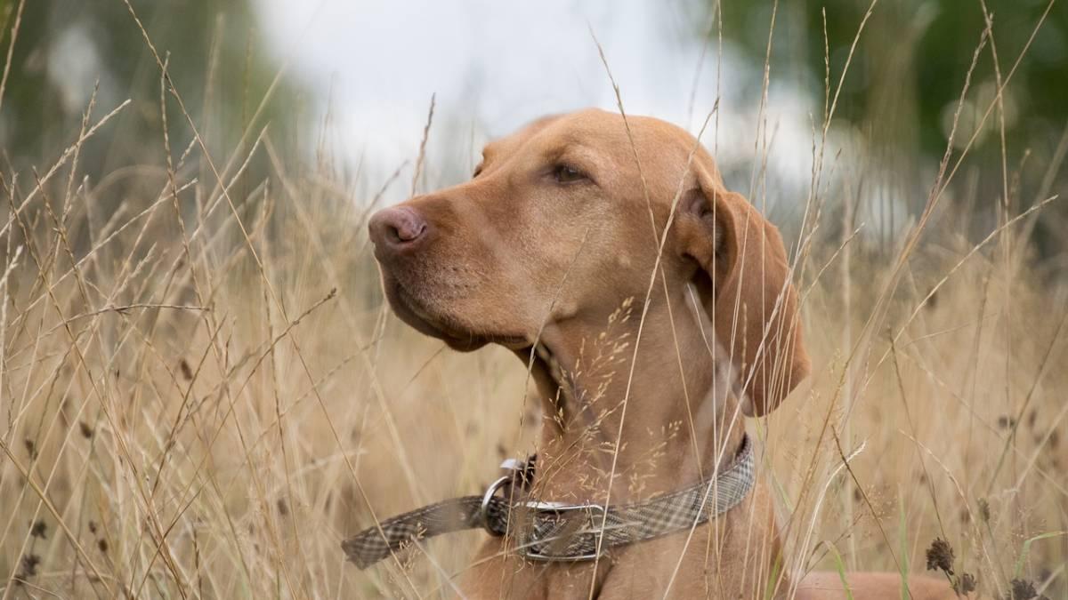 collar adiestramiento perros
