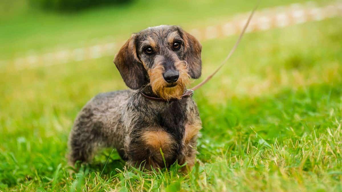 El teckel es un extraordinario perro de sangre. ©Shutterstock