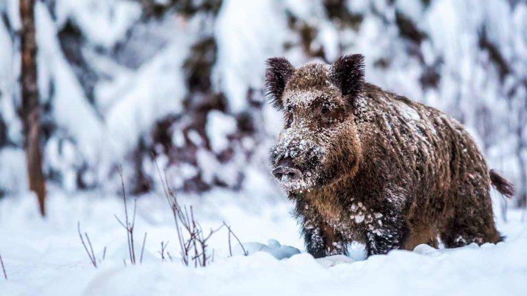 Un jabalí en un temporal de nieve. ©Shutterstock