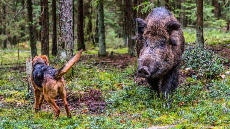 Un perro se enfrenta a un jabalí. © Shutterstock