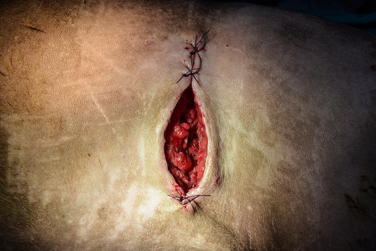 Herida de perro a medio suturar. /Shutterstock