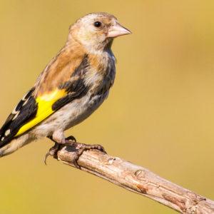 ¿Cómo diferenciar un jilguero macho de uno hembra antes de su primera muda?
