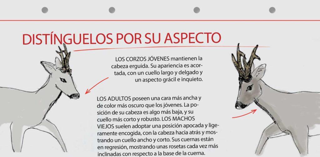 El aspecto físico también da una pista sobre la edad del corzo. © Innova Ediciones
