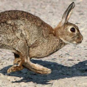 Confirmado: el virus de la mixomatosis de la liebre también infecta al conejo común