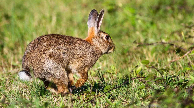 La caza del conejo por daños se prorroga hasta febrero de 2022 en 295 pueblos de CLM