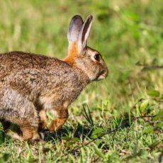 Cataluña permitirá a los cazadores desplazarse para cazar conejos por daños a la agricultura