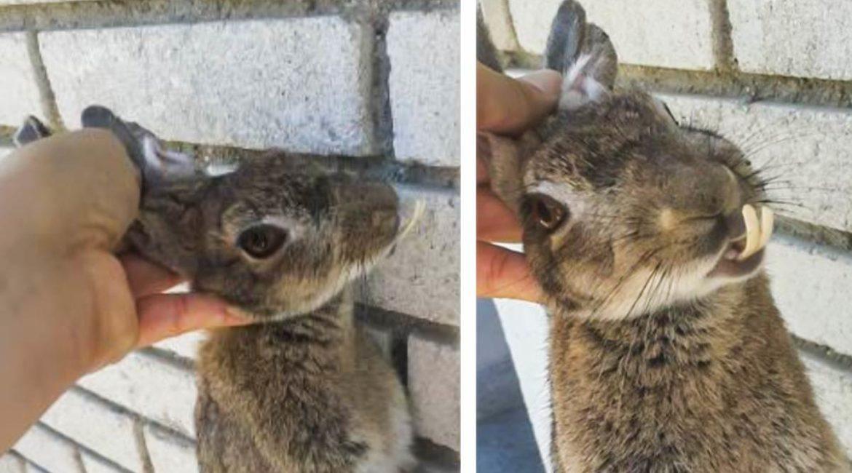 Captura un extraño conejo con unos largos dientes en Madrid