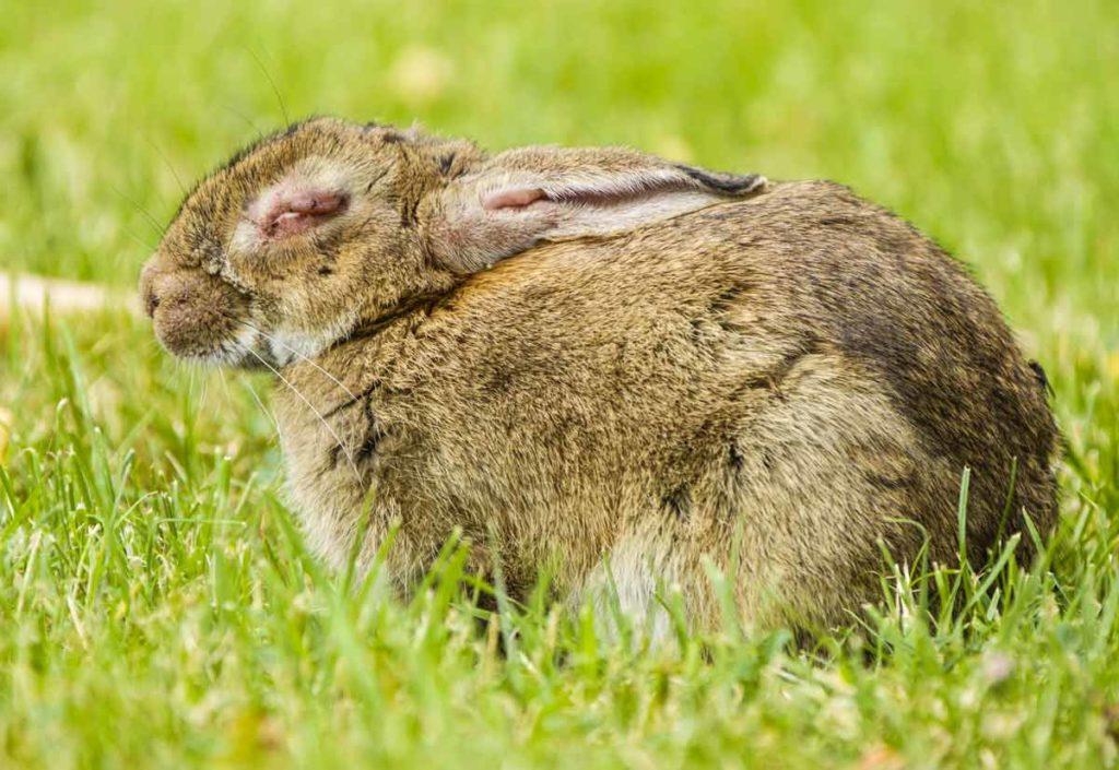 Conejo enfermo de mixomatosis.