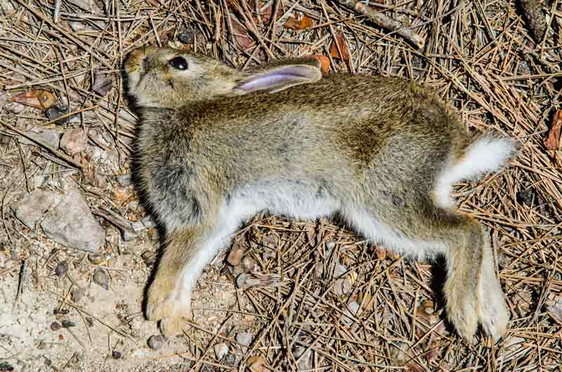 Conejo muerto. @Shuttestock