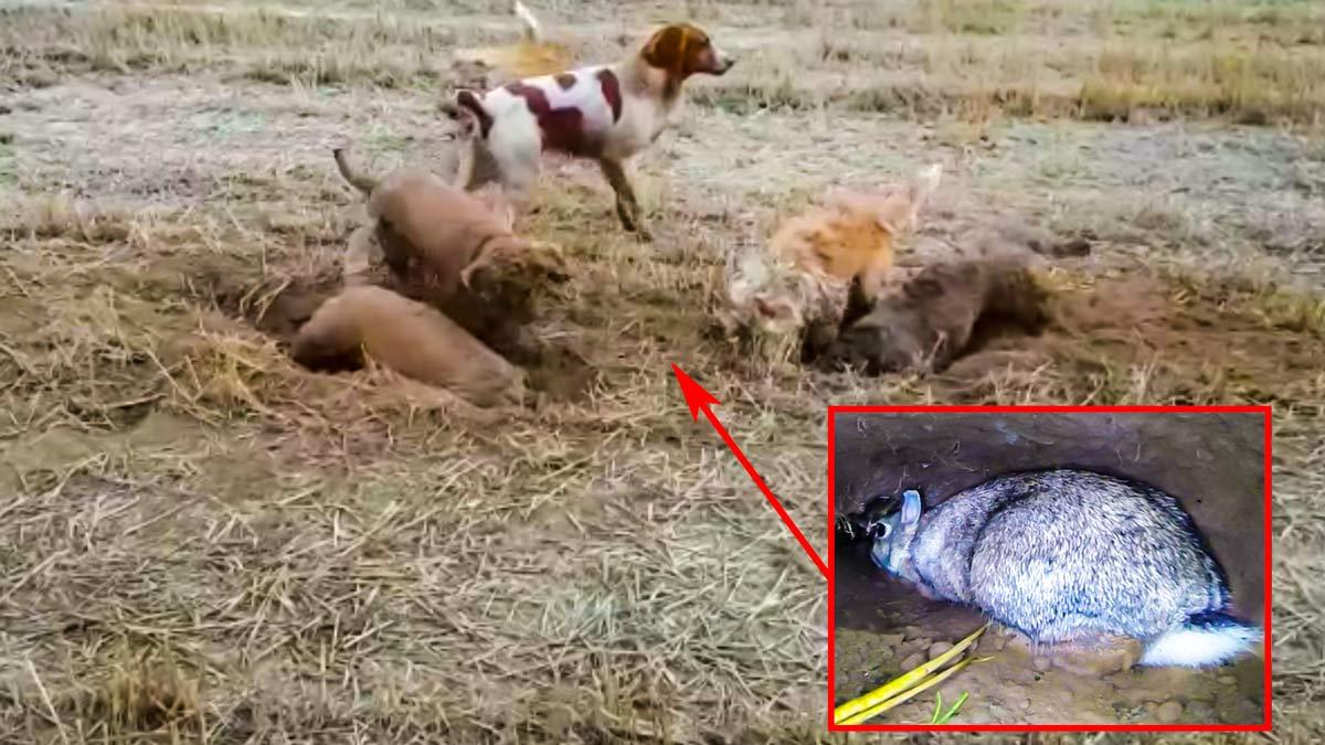 Este conejo acorralado por seis perros y dos cazadores demuestra por qué nunca hay que darse por vencido