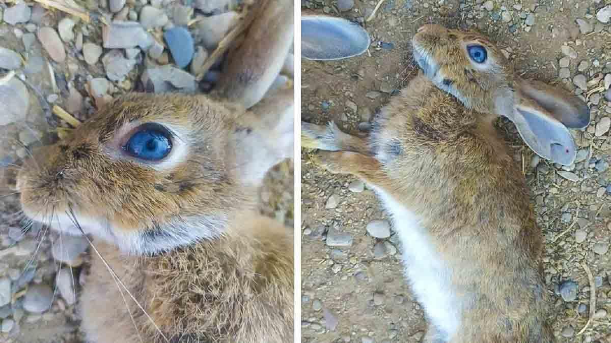 Cazan un extraño conejo rubio y con los ojos azules en Zaragoza