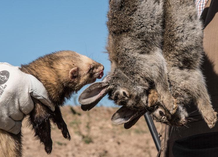 73 socios de un coto cazan más de 30.000 conejos en solo un año