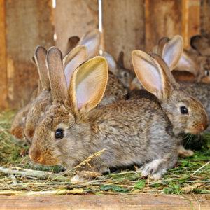 Mueren 100 conejos por culpa de los animalistas que robaron en una granja de Cataluña