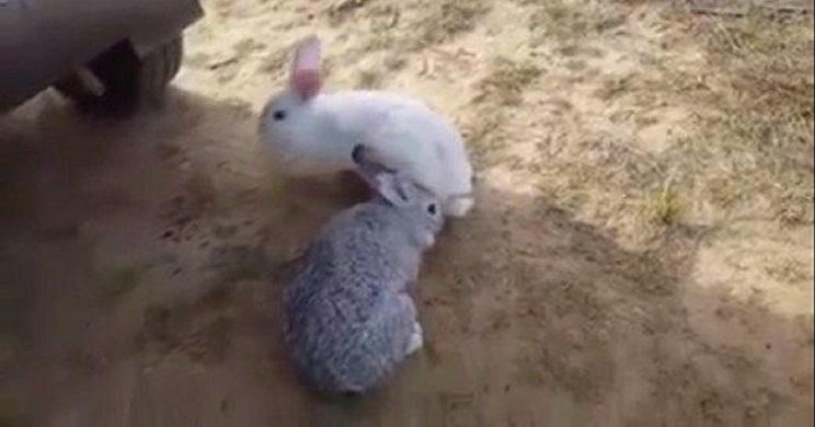 Animalistas denunciados por liberar conejos de granja en el campo. /