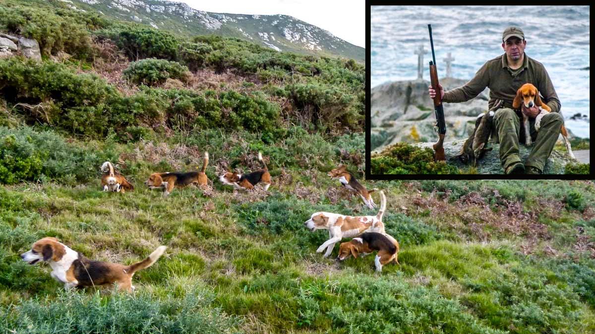 Caza de conejos con beagles: una alternativa al podenco y al perro de muestra