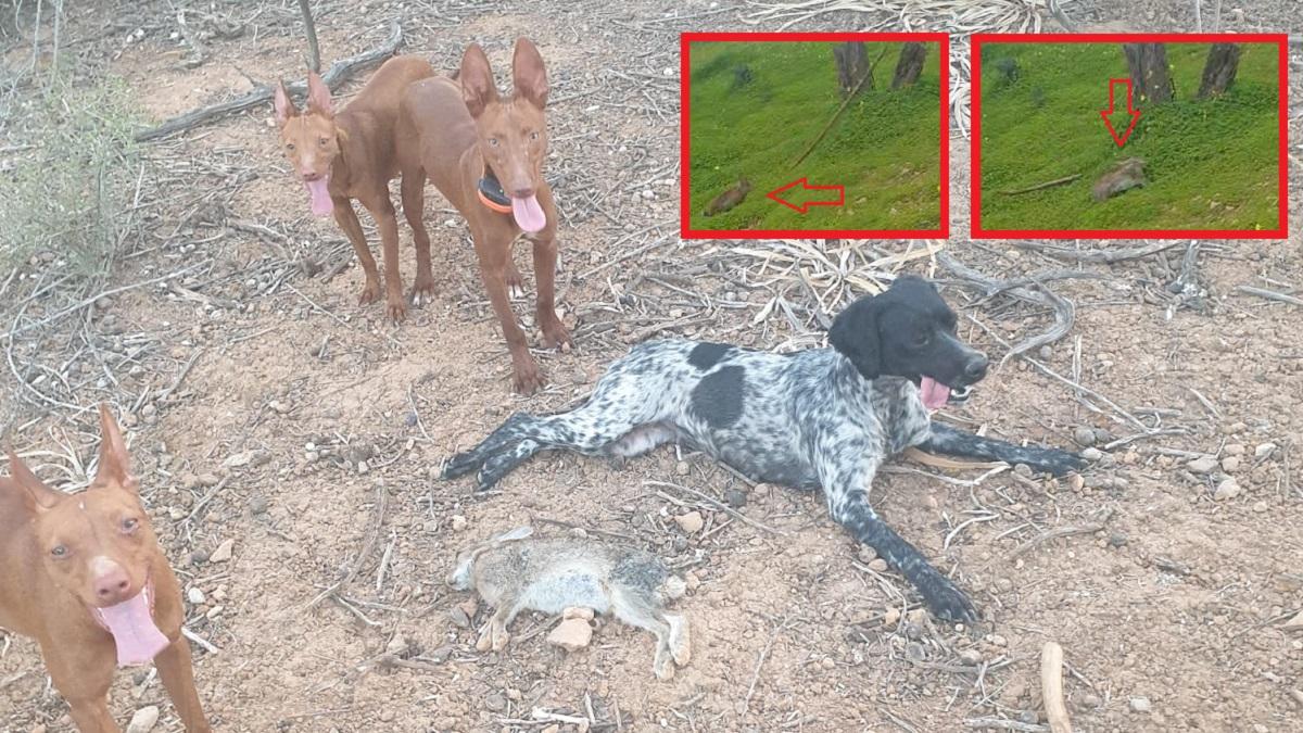 Caza conejos a la carrera con un garrote, una curiosa técnica de los viejos cazadores