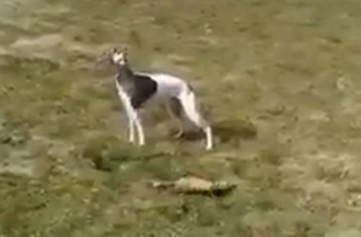 Este galgo y este hurón se compenetran a la perfección cazando conejos