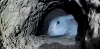 conejos con huron y capillo