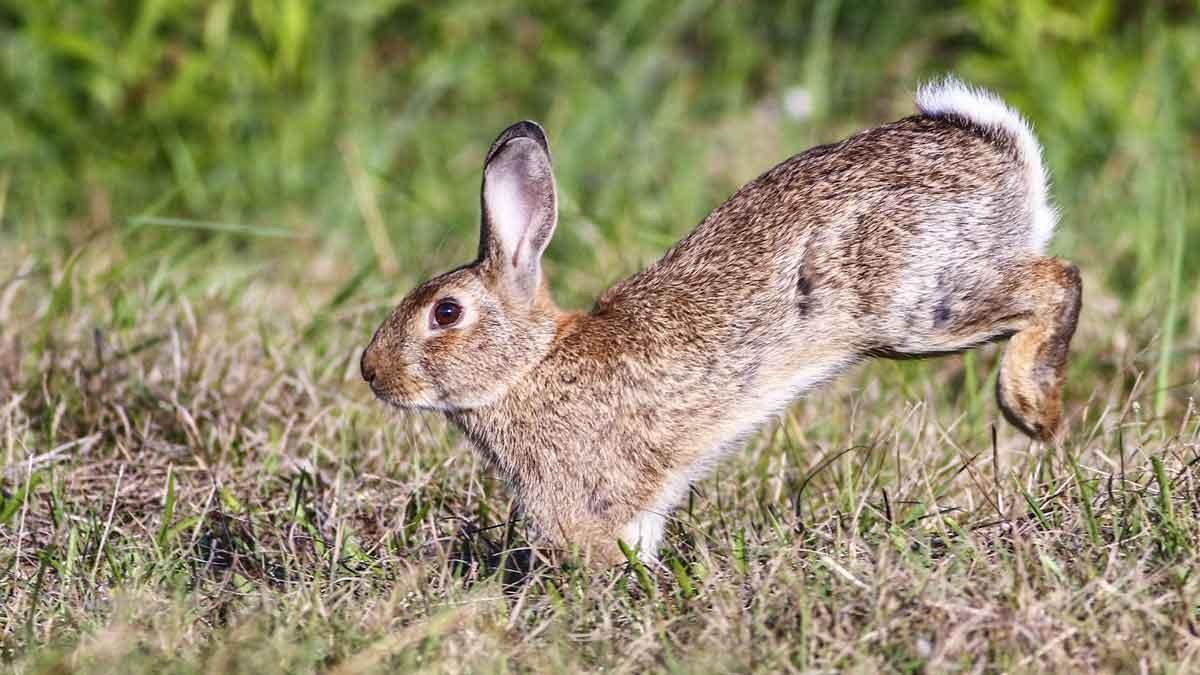 Los cazadores de Gran Canaria se niegan a exterminar el conejo