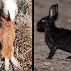 Cazan tres conejos de monte con colores sorprendentes en Huelva y Segovia