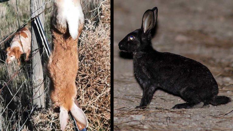 Dos conejos de monte raros por su color. ©JyS y Shutterstock