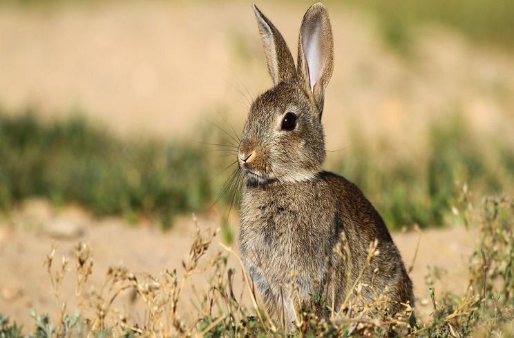 Un pueblo de alicante gasta más de 2.000 euros para capturar 80 conejos