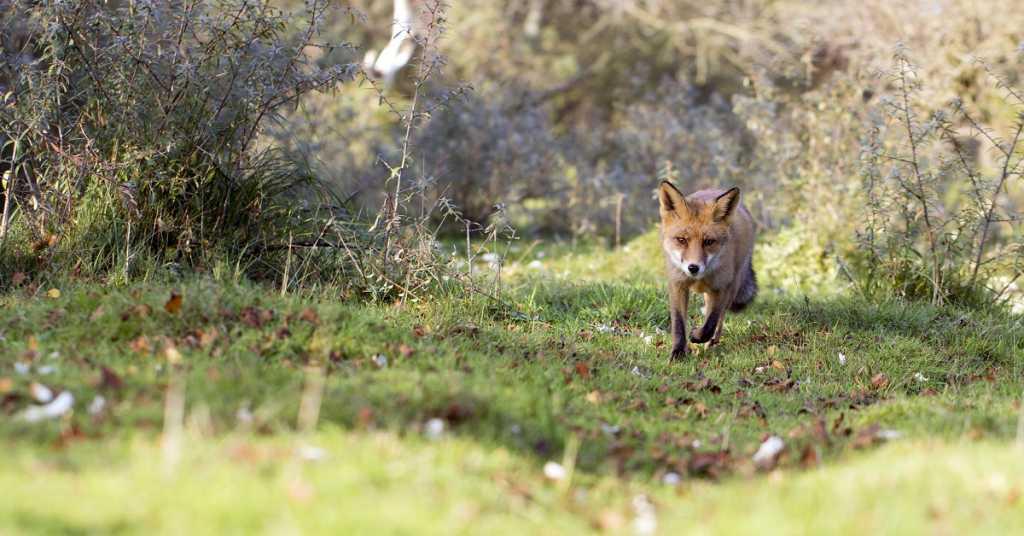 control de predadores zorro