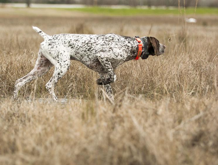 Cuatro consejos básicos para adiestrar a tu perro de muestra con ayuda de un profesional