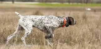 cortar los rabos a los perros