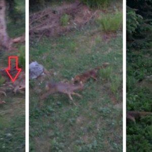 Un zorro ataca a un corcino mientras su madre lucha por él