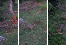 corza ataca a zorro