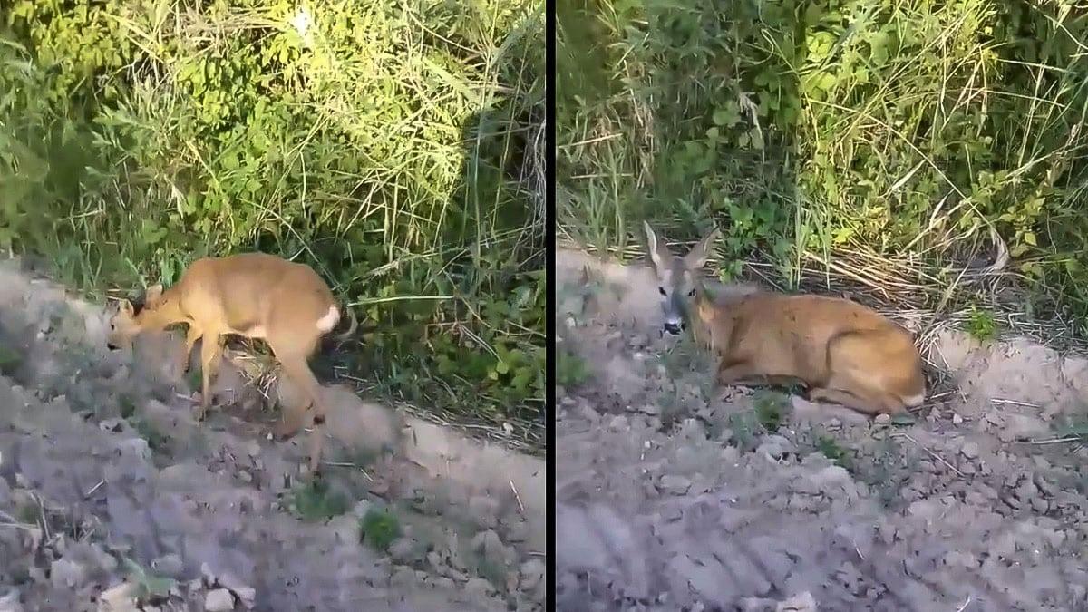Un cazador ayuda a una corza que mostraba este extraño comportamiento